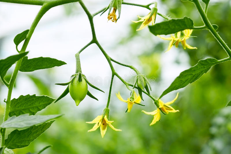 Tomatoes flowers and green fruits close up