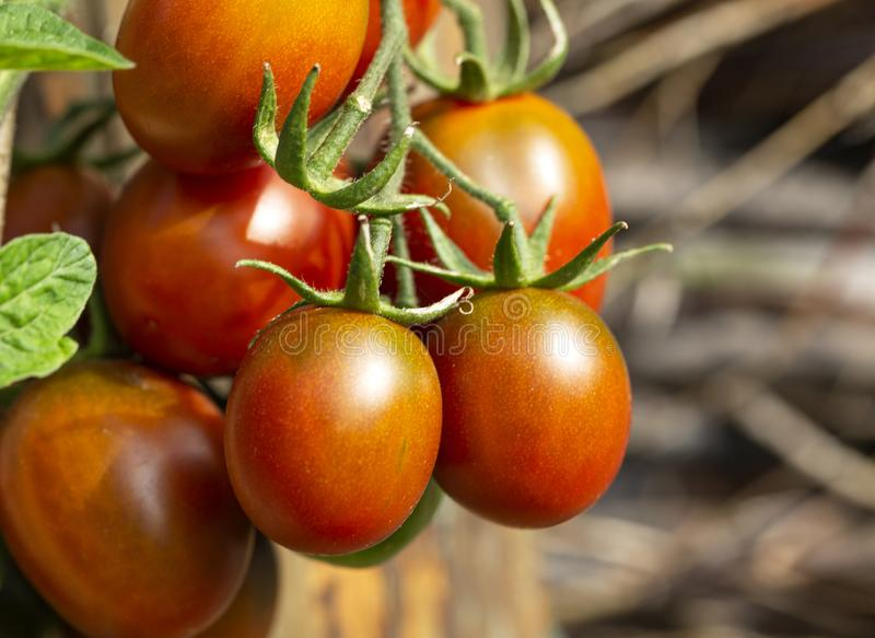 Tomatoes Fresh and ripe organic tomatoes, plant growing in a garden. Healthy vegan food. Diet. Tomato berry hanging on a branch. royalty free stock image