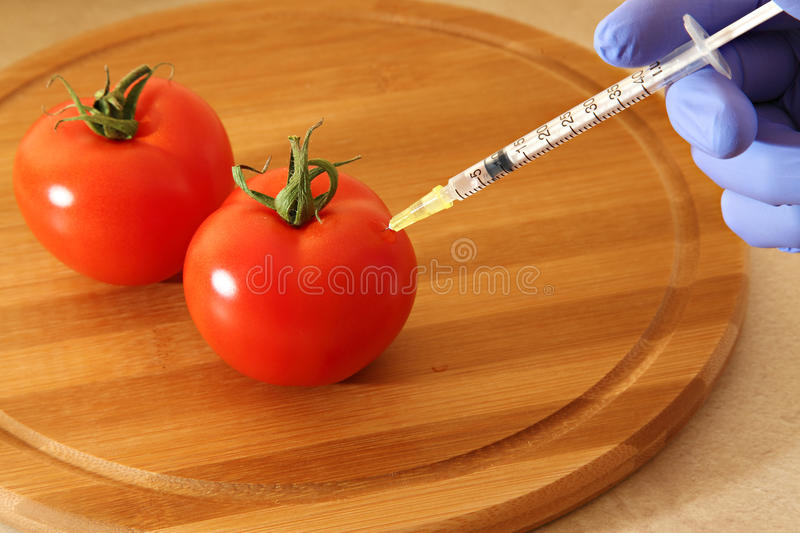 Tomatoes GMO. Genetically modified food tomatoes gmo stock photography