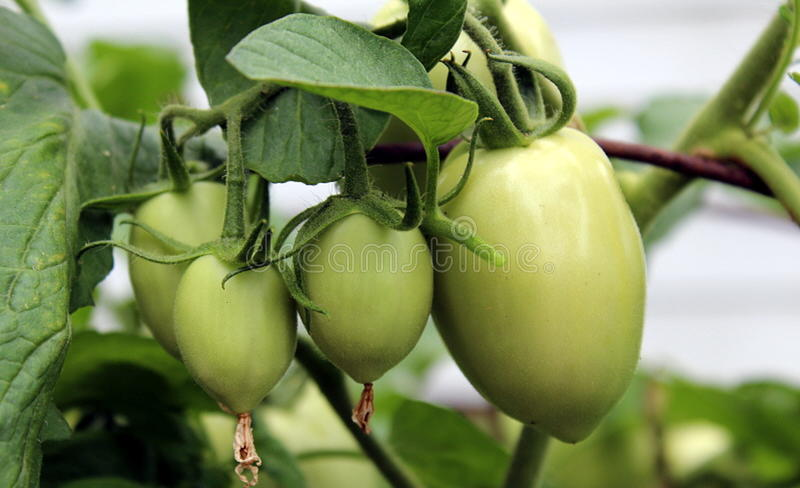 Tomatoes. Green tomatoes in local garden near a field. Summer bliss. Green leaves as well royalty free stock images