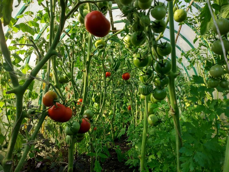 Tomatoes in the greenhouse are red and green stock photo