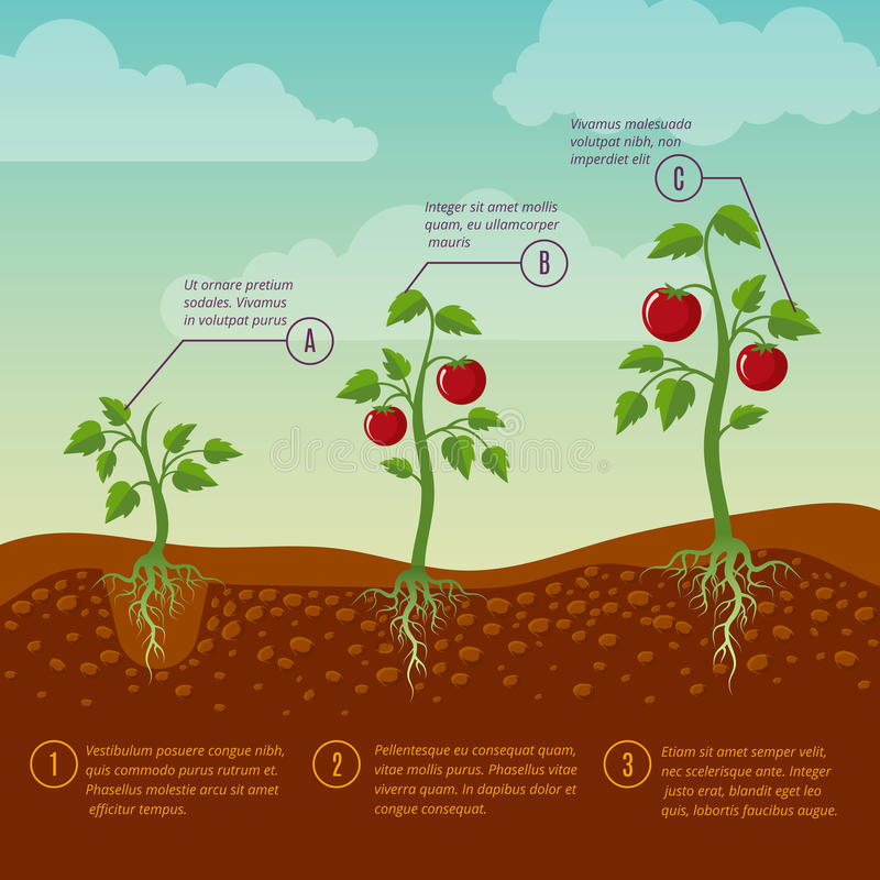 Tomatoes growth and planting stages flat vector diagram stock illustration