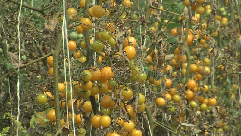 Tomatoes Plants stock video footage