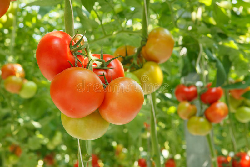 Download Tomatoes stock image. Image of eating, leaf, green, bunch - 36756995