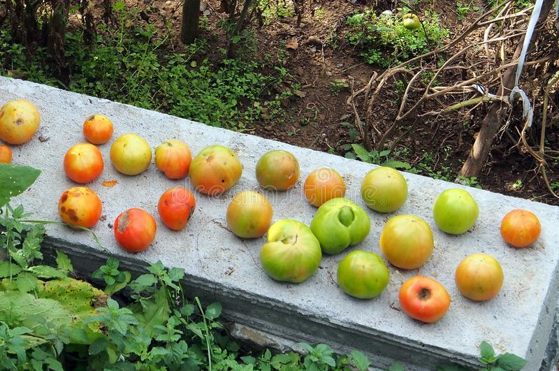 Tomatoes Ripening on Garden Wall. Tomatoes left to ripen on garden wall, Greek village, home grown, organic, self sufficient stock image