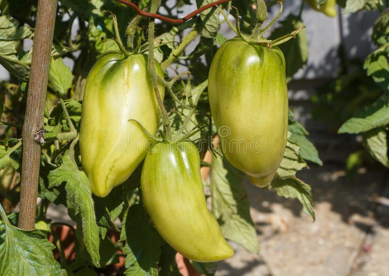 Tomatoes ripening in a vegetable garden. Andenhorn tomatoes ripening in a vegetable garden during summer stock photography