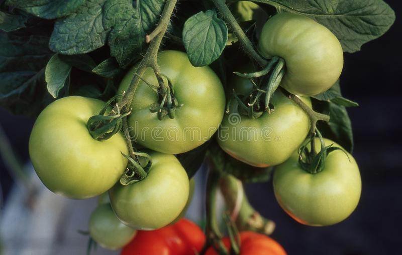 Tomatoes ripening on the vine stock photography