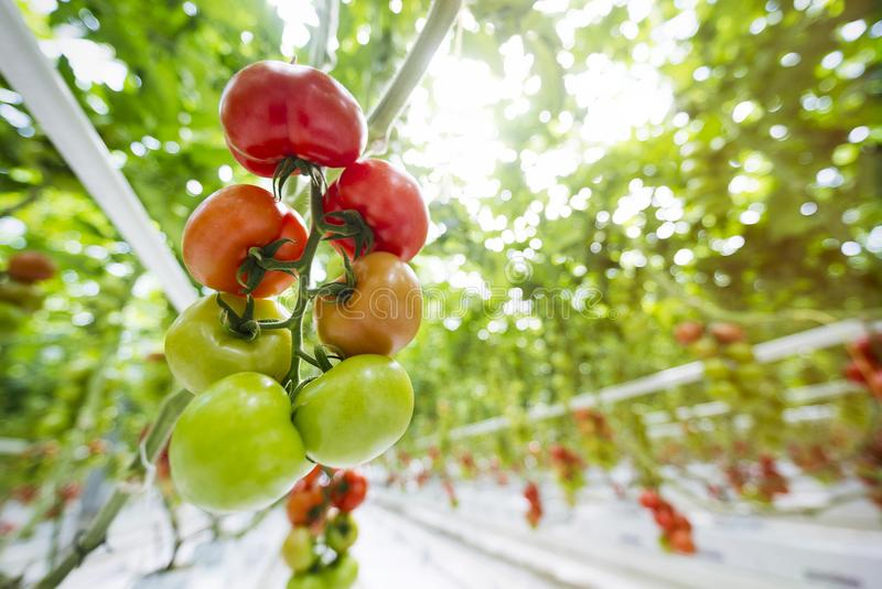 Tomatoes riping in a greenhouse stock photography