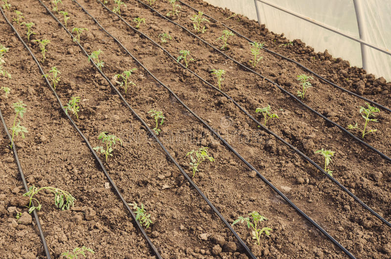 Tomatoes seedlings in the greenhouse stock image