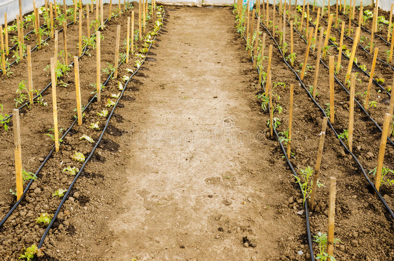 Tomatoes seedlings in the greenhouse stock photos