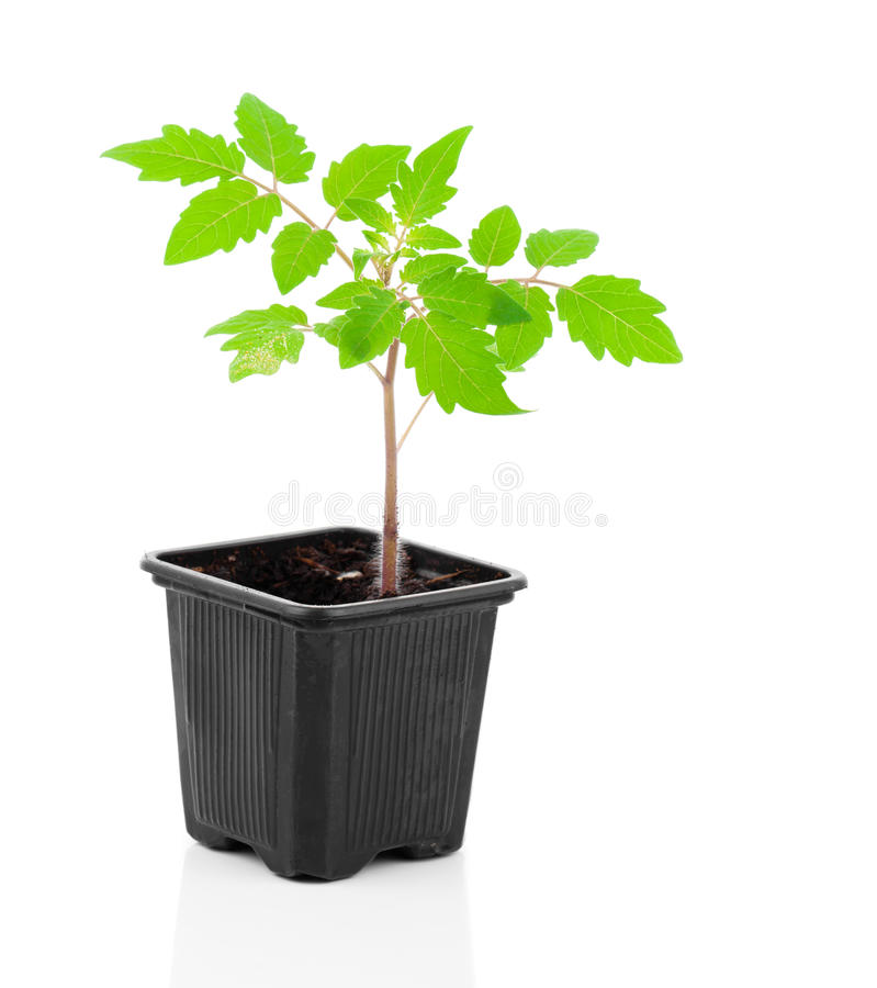 Download Tomatoes Seedlings In A Pot Stock Photo - Image: 83723846