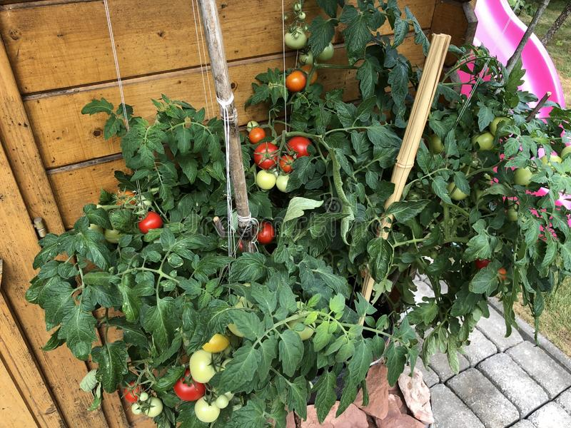 Tomatoes selfgrown food plants royalty free stock photography