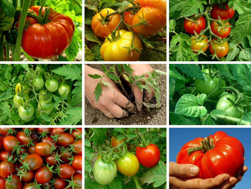 Tomatoes set royalty free stock photography
