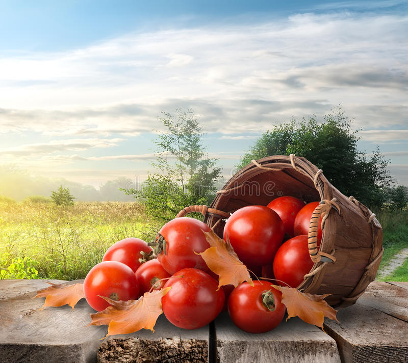 Tomatoes on the table. Tomatoes in a basket on the table and landscape stock photo
