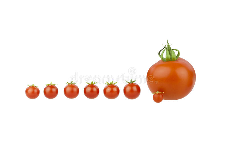 Tomatoes. Tomato covey. Seven little cherry tomatoes with a big one isolated on white royalty free stock photos