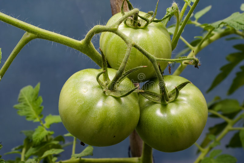 Tomatoes On The Vine stock images