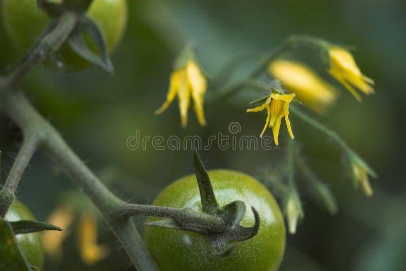 Tomatoflowers en Vruchten stock foto