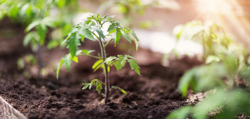 Tomatplanta i växthus fotografering för bildbyråer