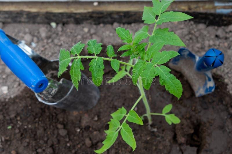 Tomatplanta och tr?dg?rdhj?lpmedel close upp Selektivt fokusera arkivbild