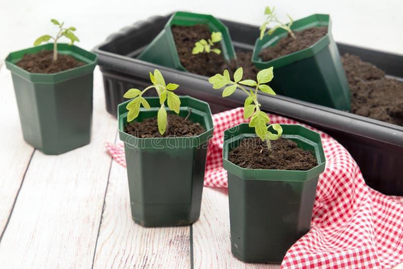 Tomatplantor i gr?na plast- krukor royaltyfri bild