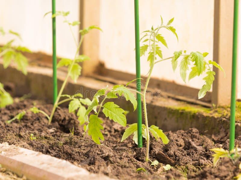 tomatplantor i växthuset royaltyfria foton