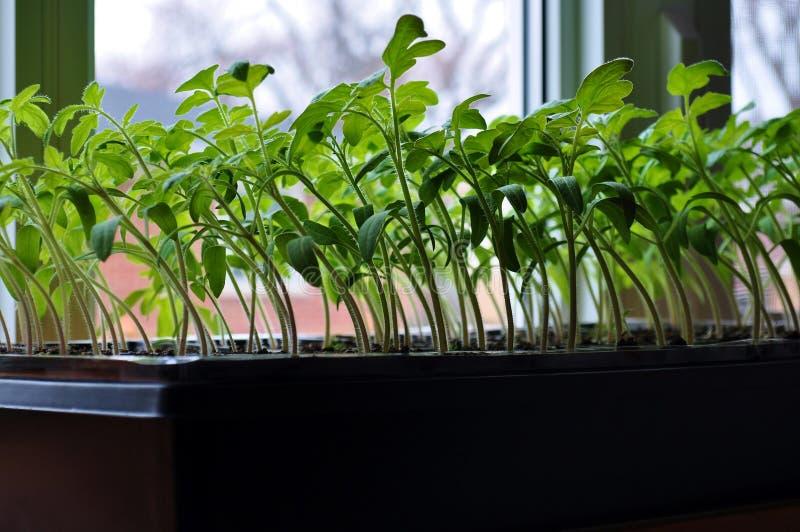 Tomatplantor som växer in mot solljuset på fönsterbräda royaltyfri fotografi