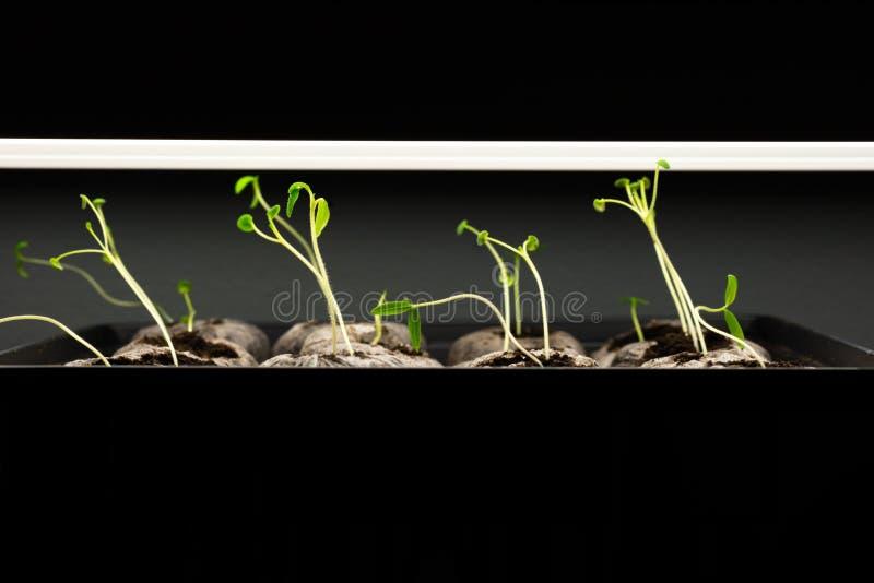 Tomatplantor under ett växaljus royaltyfri foto