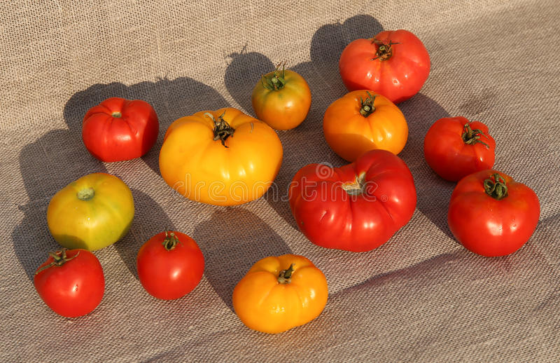 Tomatskörd arkivfoton