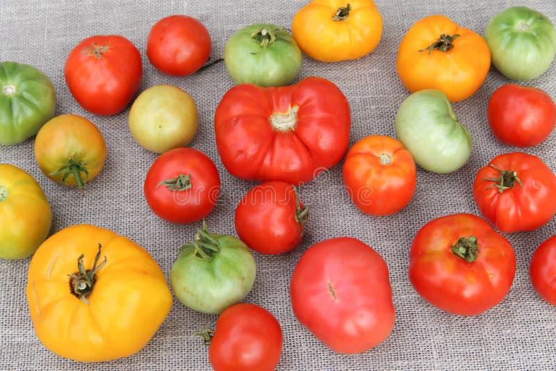Tomatskörd arkivbild