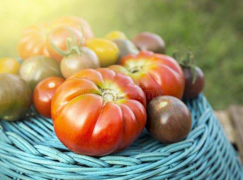 Tomatskörd av olika variationer på blå korg royaltyfri fotografi