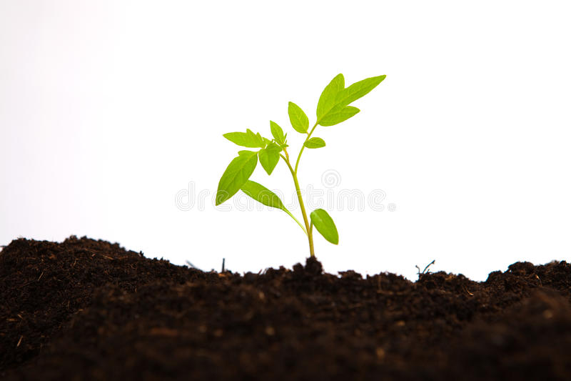Tomatunga trädet i jord grundar med vit bakgrund arkivfoton