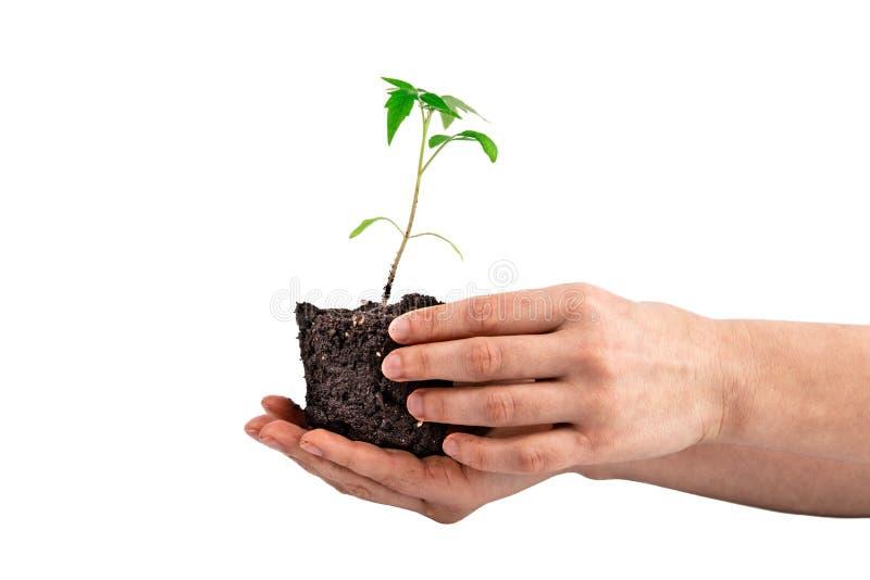 Tomatväxt i handen som isoleras på vit royaltyfri bild