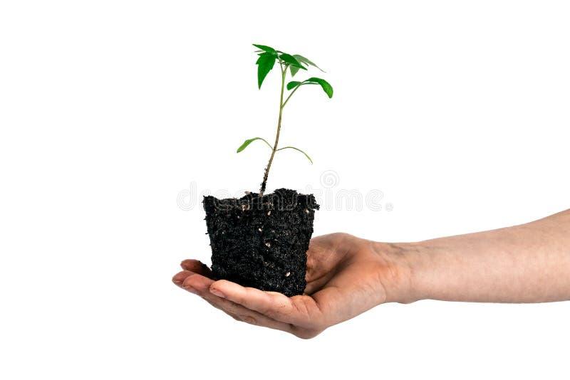 Tomatväxt i handen som isoleras på vit arkivfoton