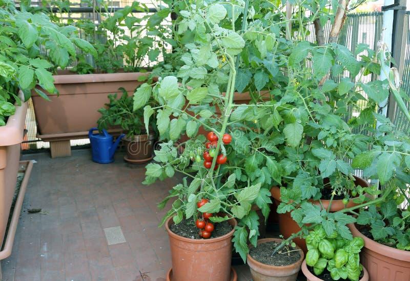 Tomatväxt i krukan på terrassen av ett hus i staden fotografering för bildbyråer
