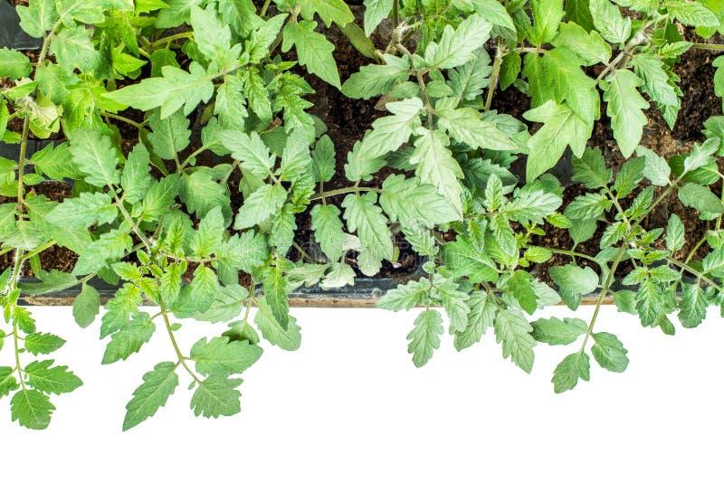 Tomatväxter i en kassett för plantor på en vit bakgrund arkivbilder