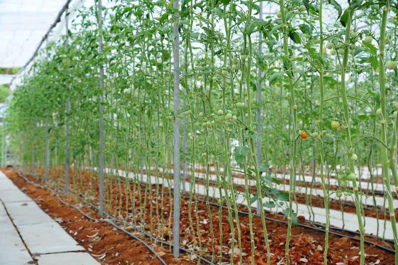 Tomatväxter i lantgården under grönsakväxthus arkivfoton