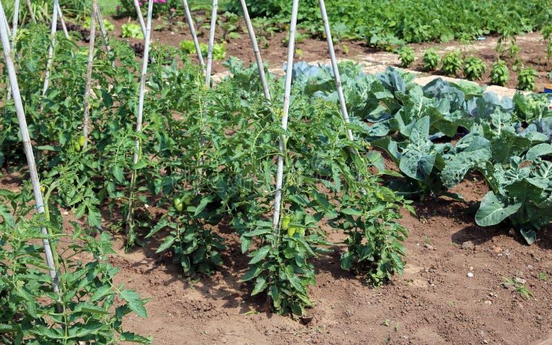 Tomatväxter i trädgården av bonden arkivbild
