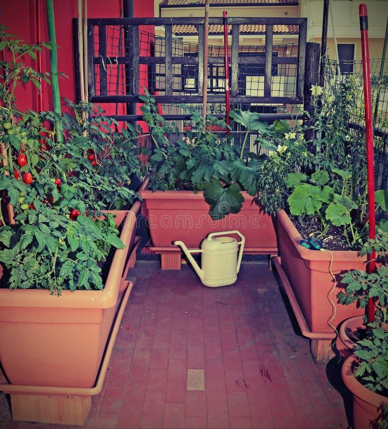 Tomatväxter och en guling som bevattnar kan på terrassen av apen royaltyfria foton