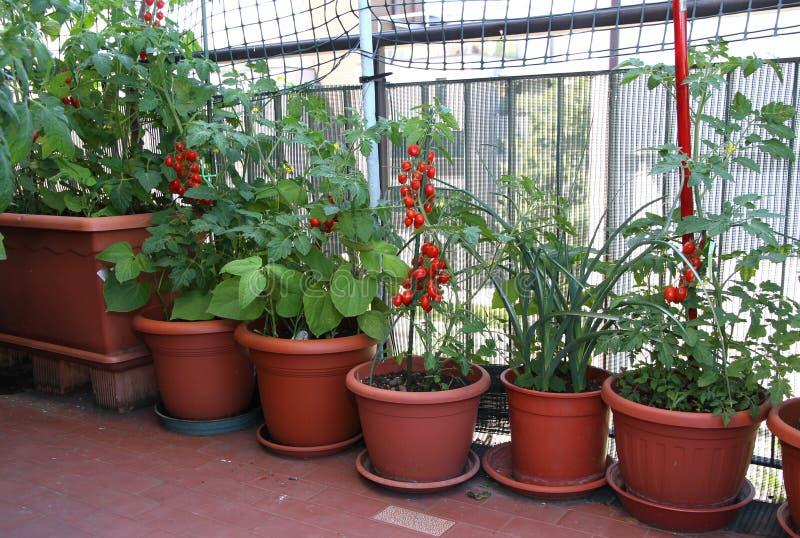 TOMATväxter på terrassen av lägenheten i staden fotografering för bildbyråer