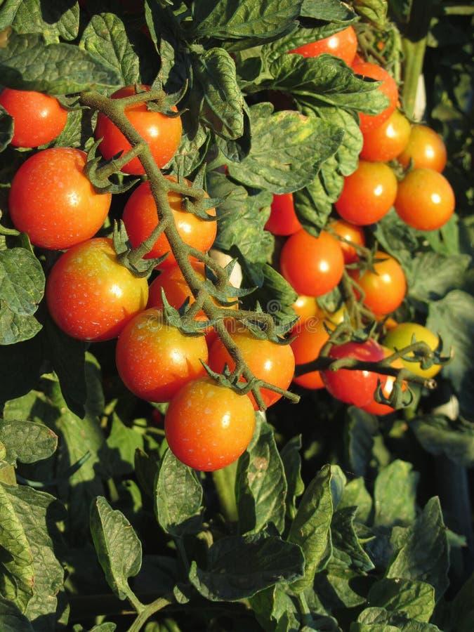 Tomatväxter som växer i trädgården Tomater mognar gradvist italy tuscany royaltyfria bilder