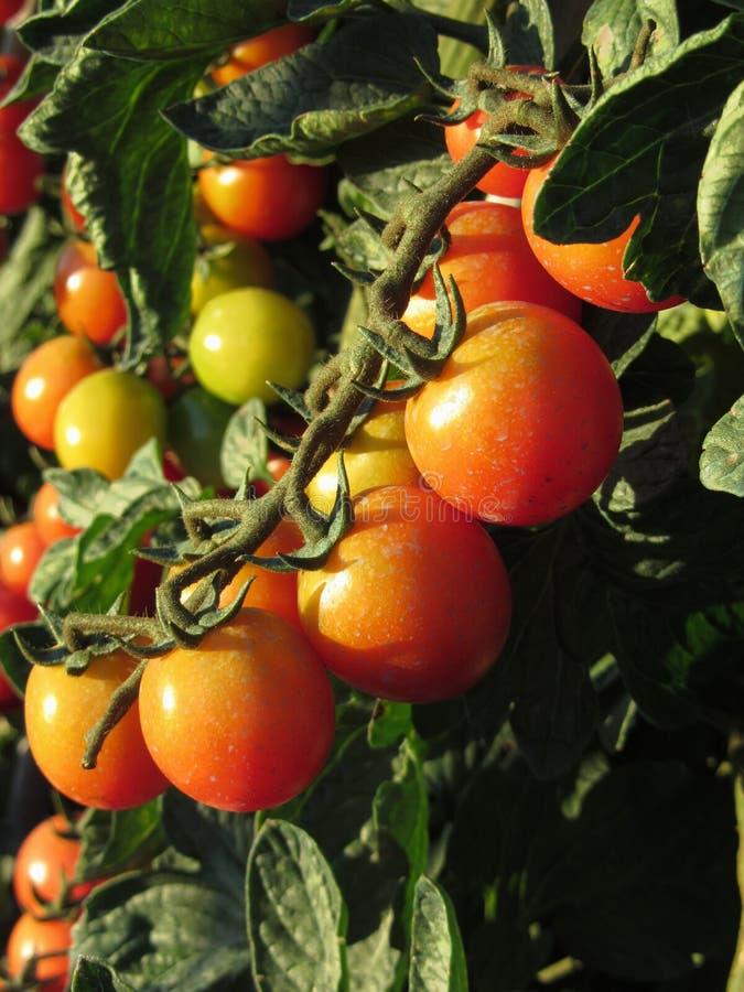 Tomatväxter som växer i trädgården Tomater mognar gradvist italy tuscany fotografering för bildbyråer