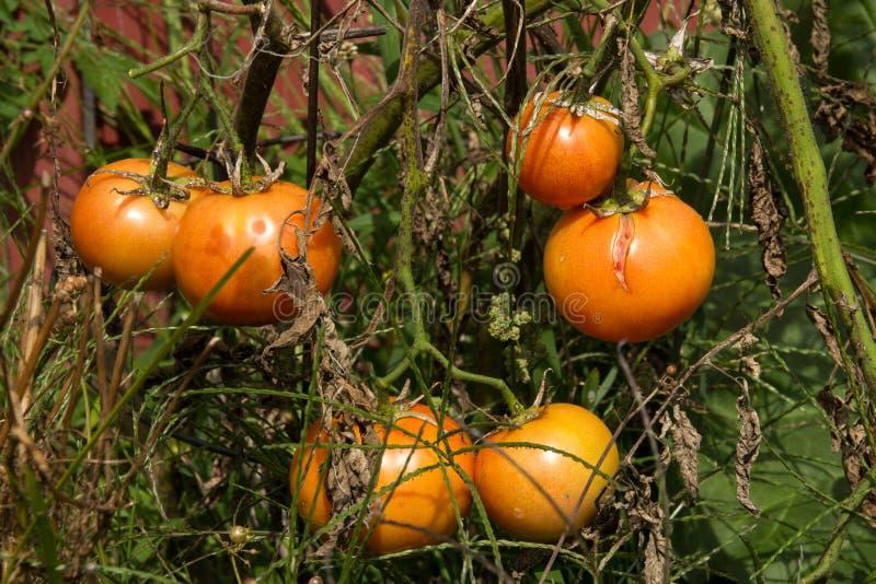 Tomatväxtsjukdom royaltyfria foton