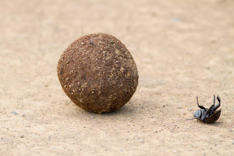 Tomber de scarabée de Dung la boule de fumier images libres de droits