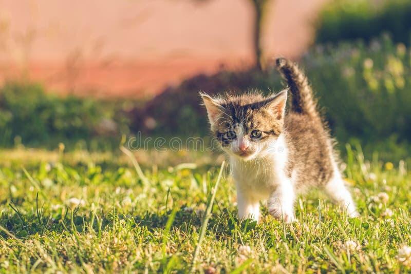 Tomcat с белизной и мехом tabby идет на траву стоковые изображения rf
