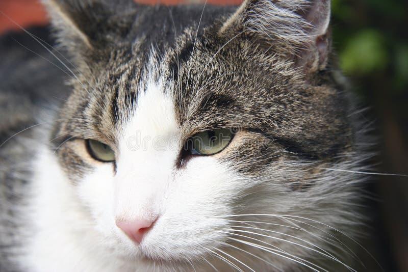 Tomcat photo stock