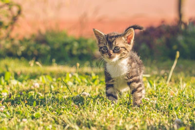 Tomcat Tabby с белым комодом на зеленой траве стоковое изображение