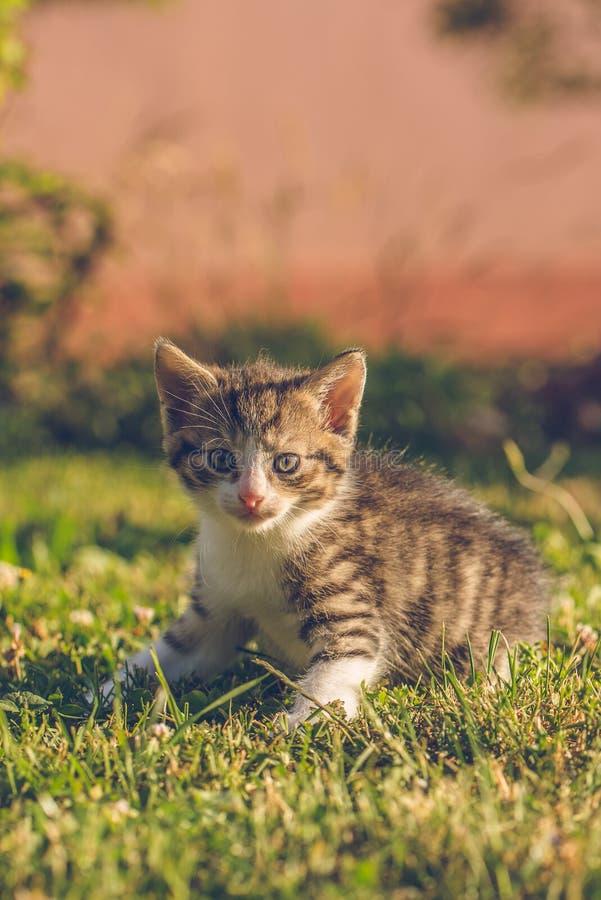 Tomcat z bielem i tabby futerkiem siedzi na zielonej trawie fotografia royalty free