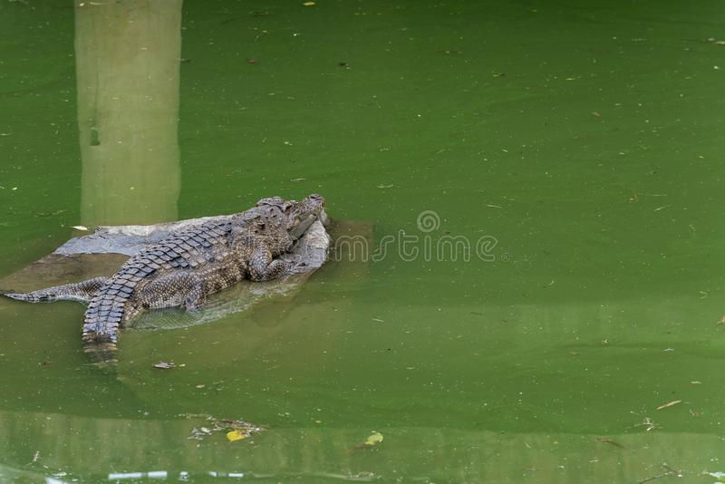 Tome el sol en el siamensis del sol-cocodrilo-Crocodylus imágenes de archivo libres de regalías