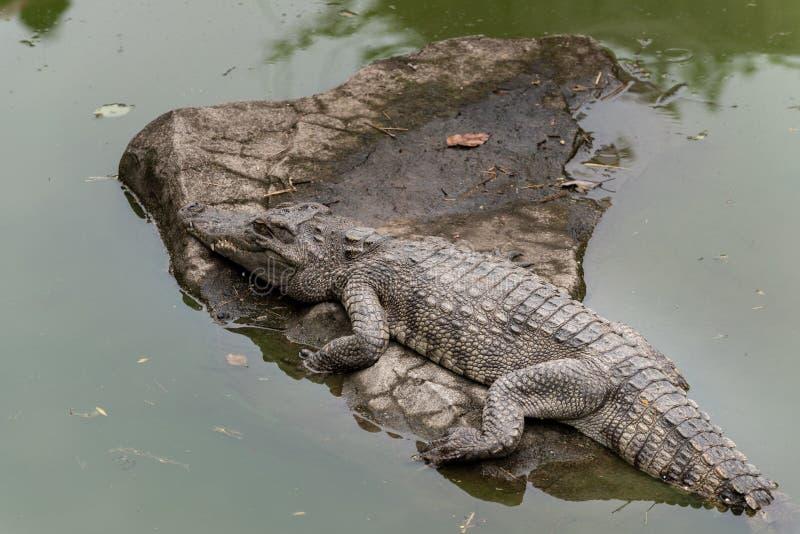 Tome el sol en el siamensis del sol-cocodrilo-Crocodylus fotos de archivo
