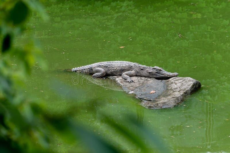 Tome el sol en el siamensis del sol-cocodrilo-Crocodylus fotos de archivo libres de regalías